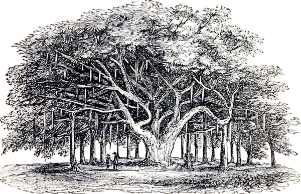 The Banyan-tree, or Indian Fig (Ficus Indica)