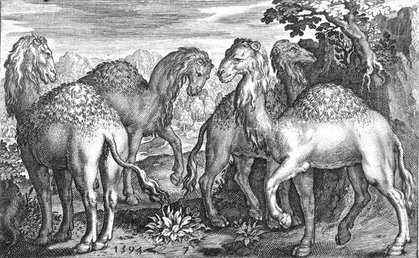 Four Dromedaries