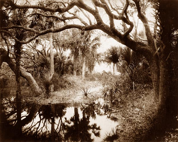 Live Oaks and Palmetto, Everglades, Florida
